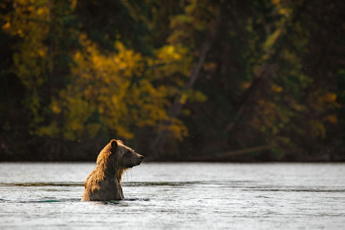 9. WITHIN THE RAINFOREST  BC's pristine natural habitat is a haven for wildlife: black bears and grizzlies wade ...