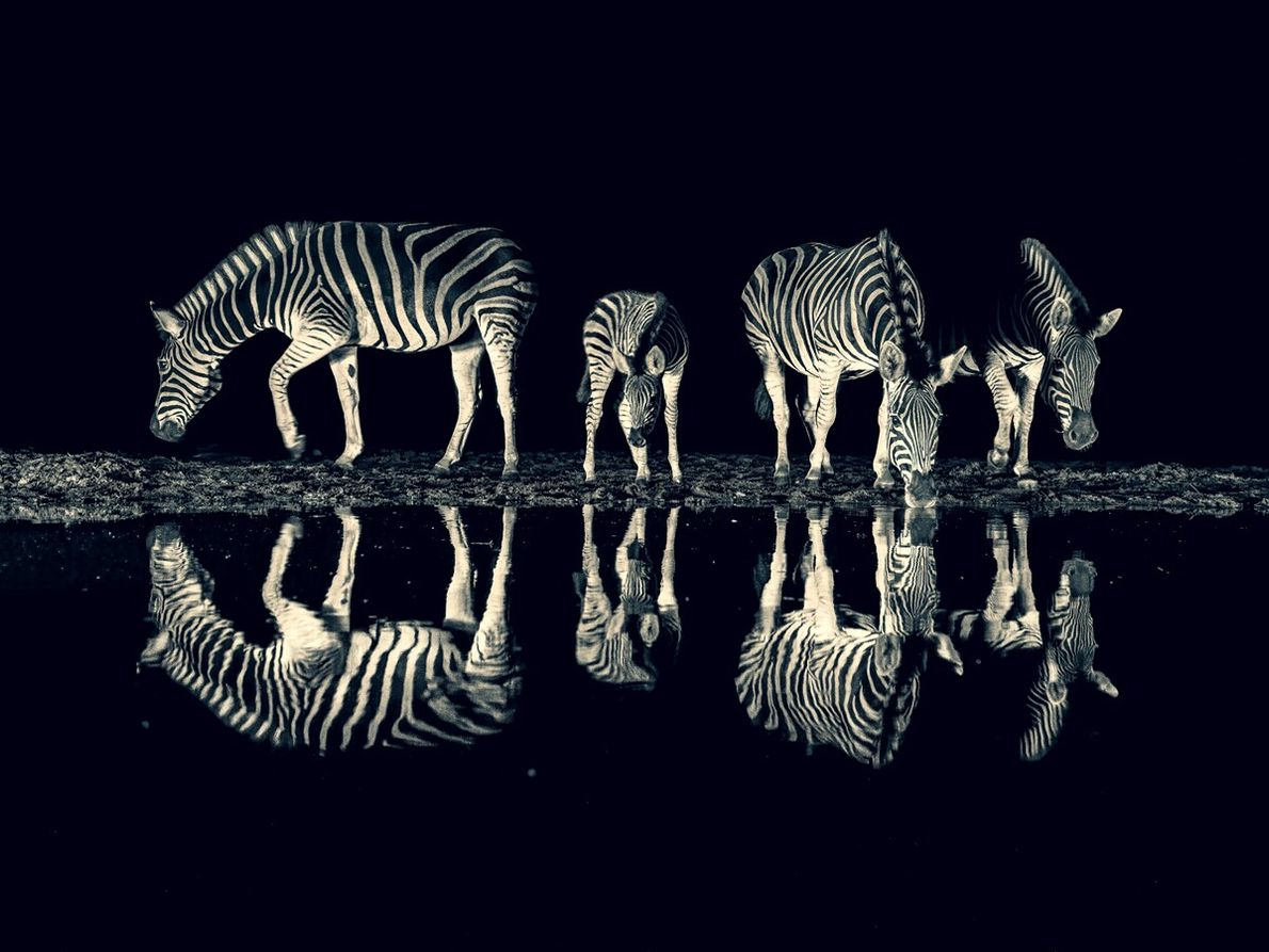 Shortlisted in the 'Incredible Wildlife' category, this dramatic black and white mirror image pictures a group ...