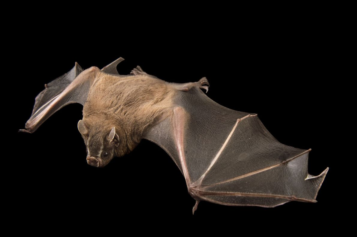 A greater fruit-eating bat, Artibeus lituratus, at the Lubee Bat Conservancy in Gainesville, Florida.
