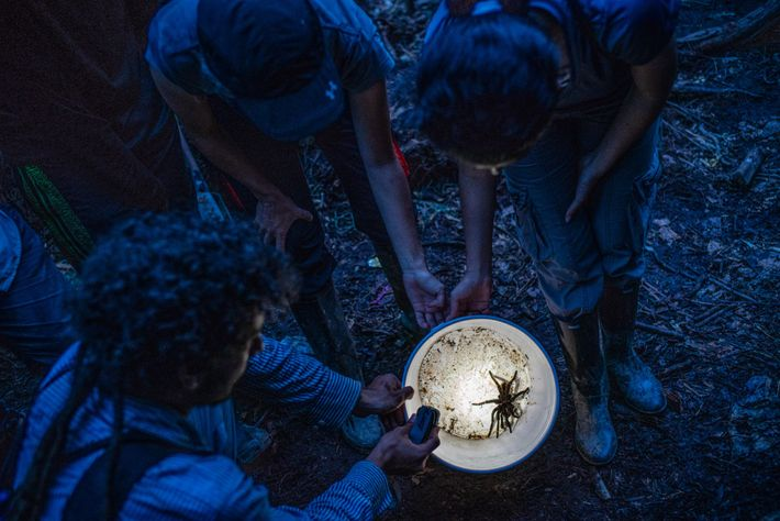 Biologists examine a Colombian lesserblack tarantula, 'Xenesthis immanis', they found in the forest.