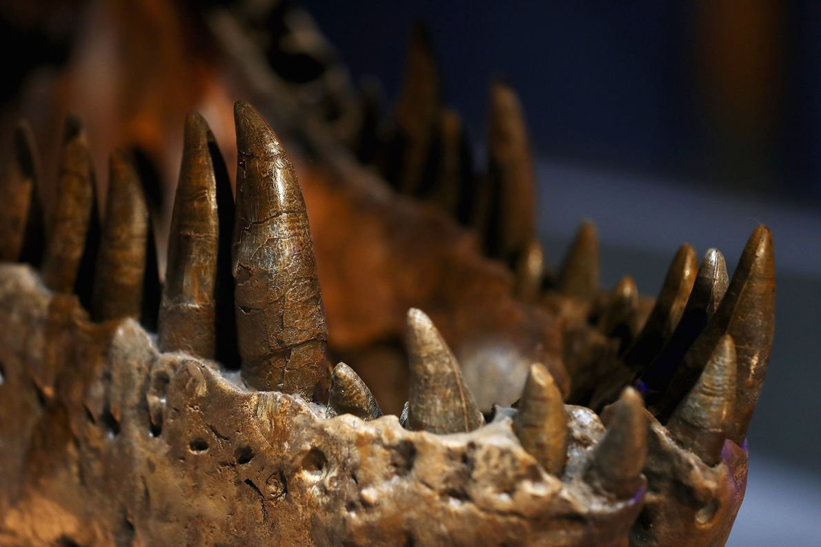 "This close-up shows the formidable teeth and jaws of a female 'Tyrannosaurus rex' known as 'Trix,"" ..."