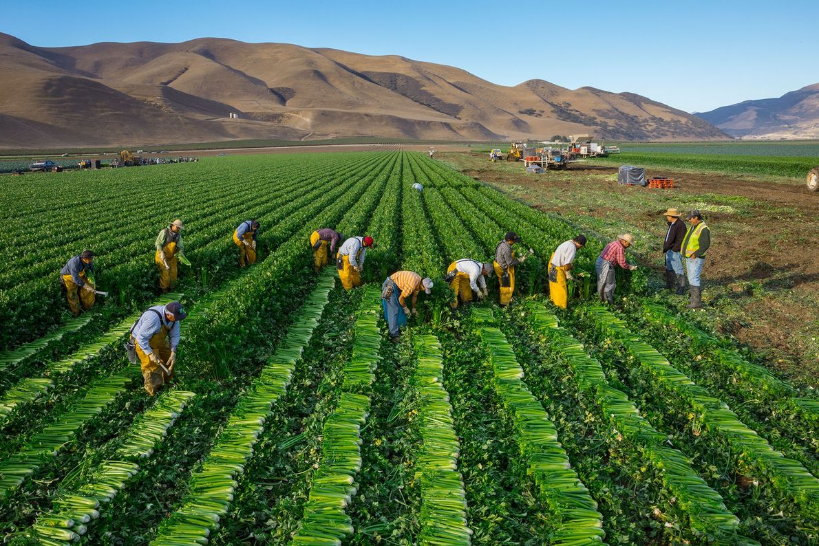 Workers harvest celery from a farm in California's Salinas Valley. The region is famous for agriculture. ...