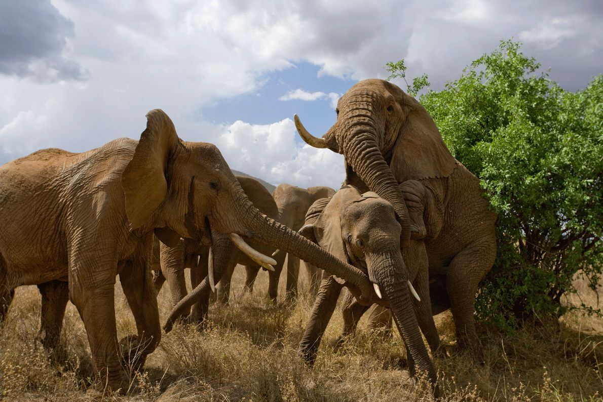 Elephant mating can cause chaotic scenes.