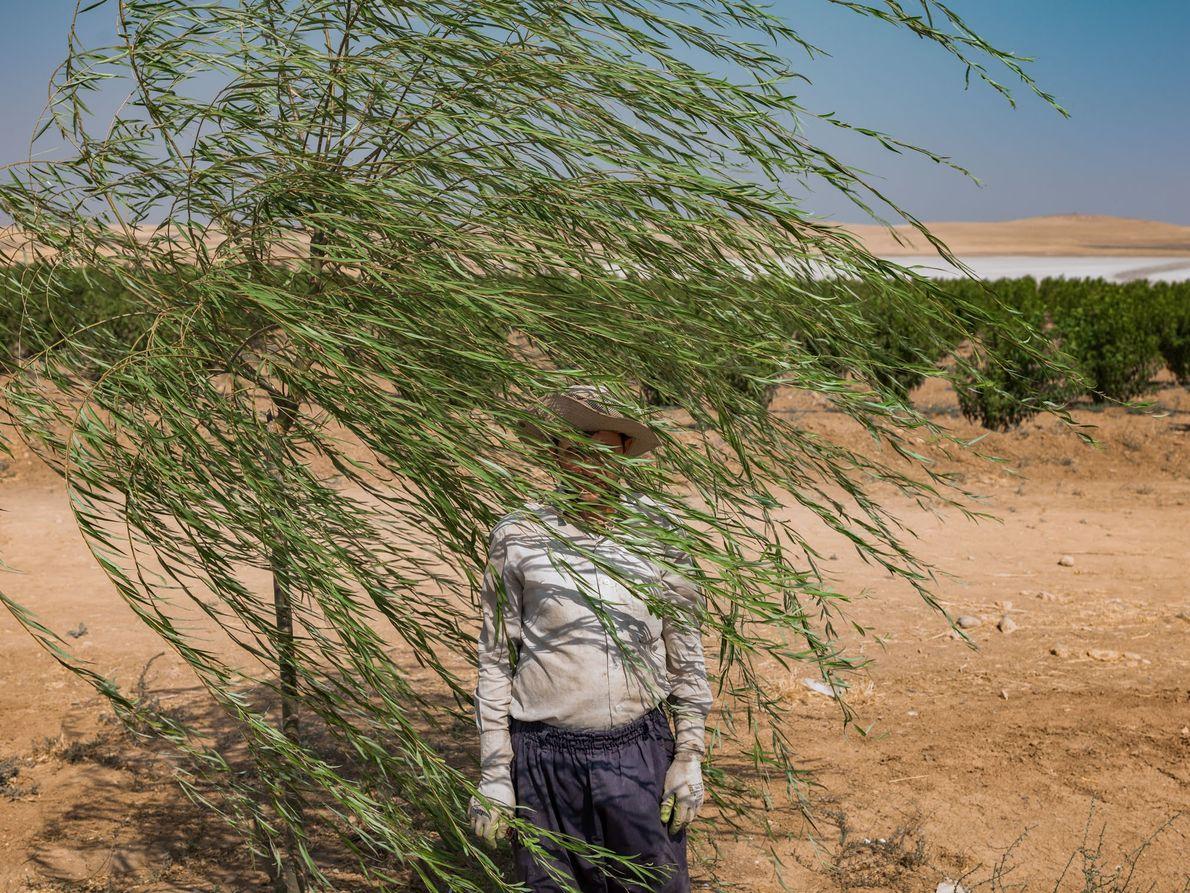 Reza Manafzadeh works on a fruit-tree farm at the edge of the salt lake, where crops ...