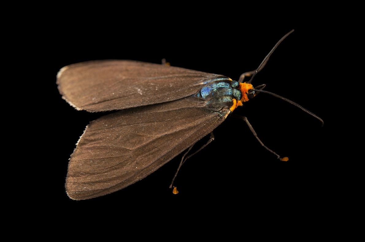 A wasp moth, Ctenucha virginica, from Cross Lake, Minnesota. Though most moths are nocturnal, this species ...