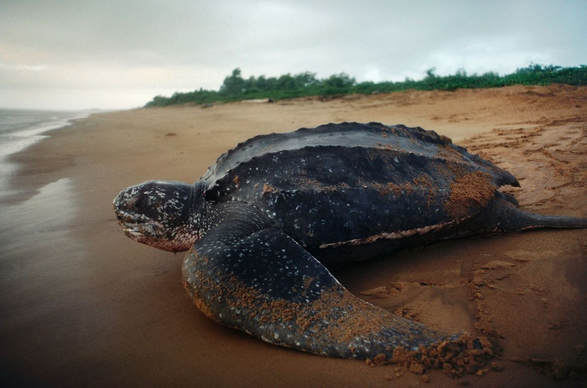 A nesting leatherback sea turtle, Dermochelys coriacea, returns to sea.