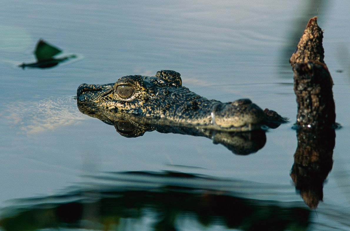 Cuban Crocodile - A submerged Cuban crocodile raises its head above water. Interbreeding with native American crocodiles has resulted in hybridization and the loss of the Cuban crocodile's genetic identity - Photograph by Steve Winter, National Geographic Creative
