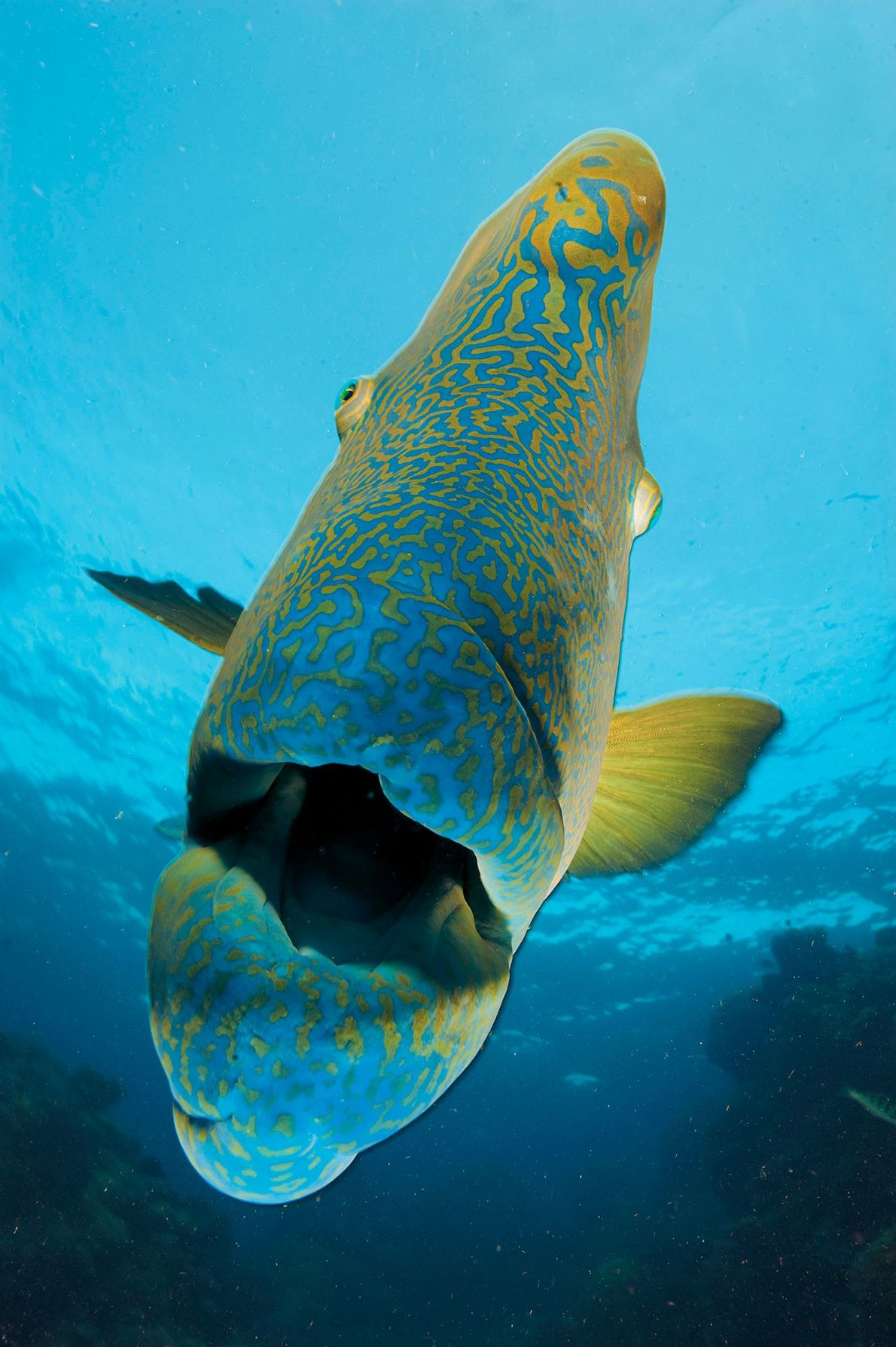 The humphead wrasse is among the reef's many thousands of species.
