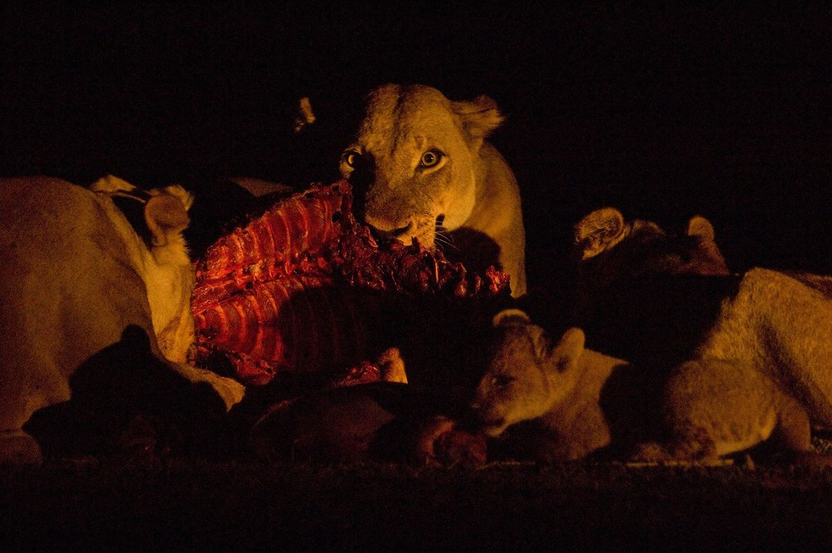 Lionesses and cubs feed in Zambia's Luangwa Valley.