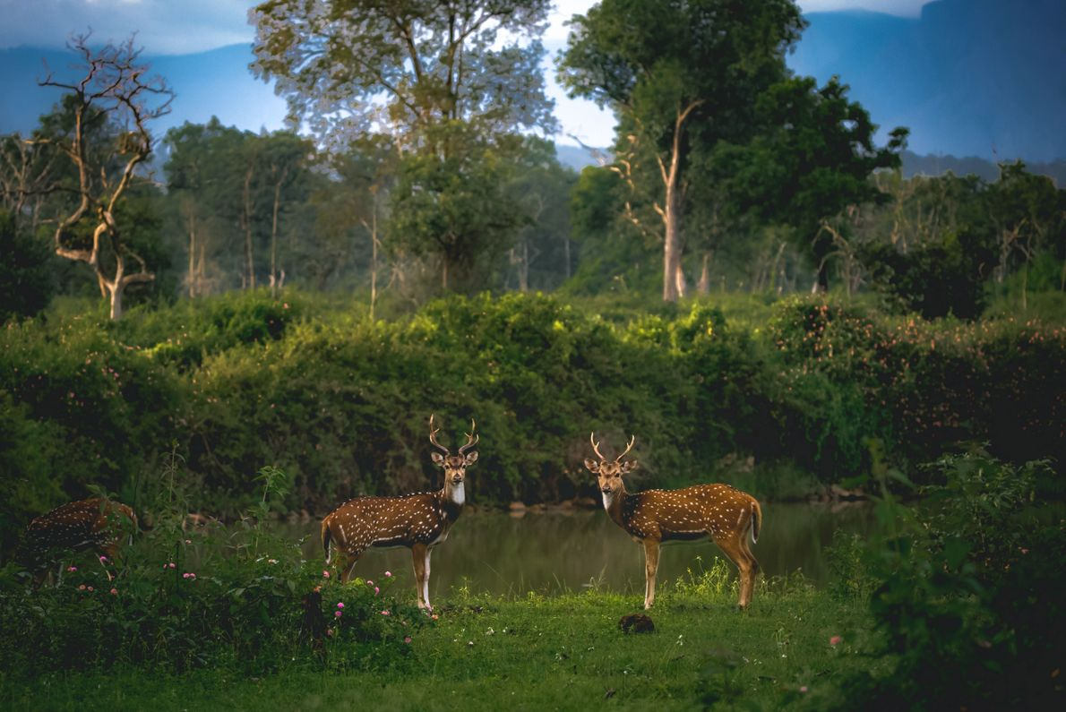 """""""Gorgeous habitat of Bandipur and I saw two spotted deers grazing,"""" writes Your Shot photographer Alvis ..."""