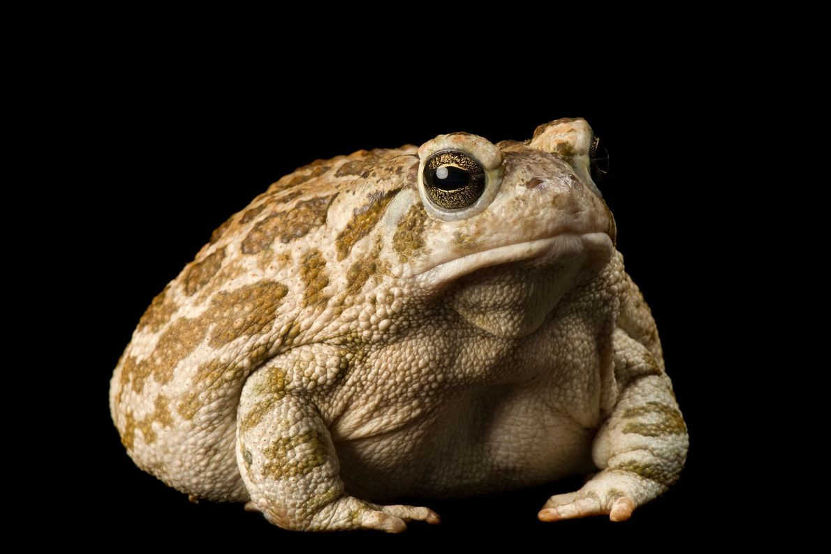 A great plains toad ('Anaxyrus cognatus') at the Phoenix City Zoo.