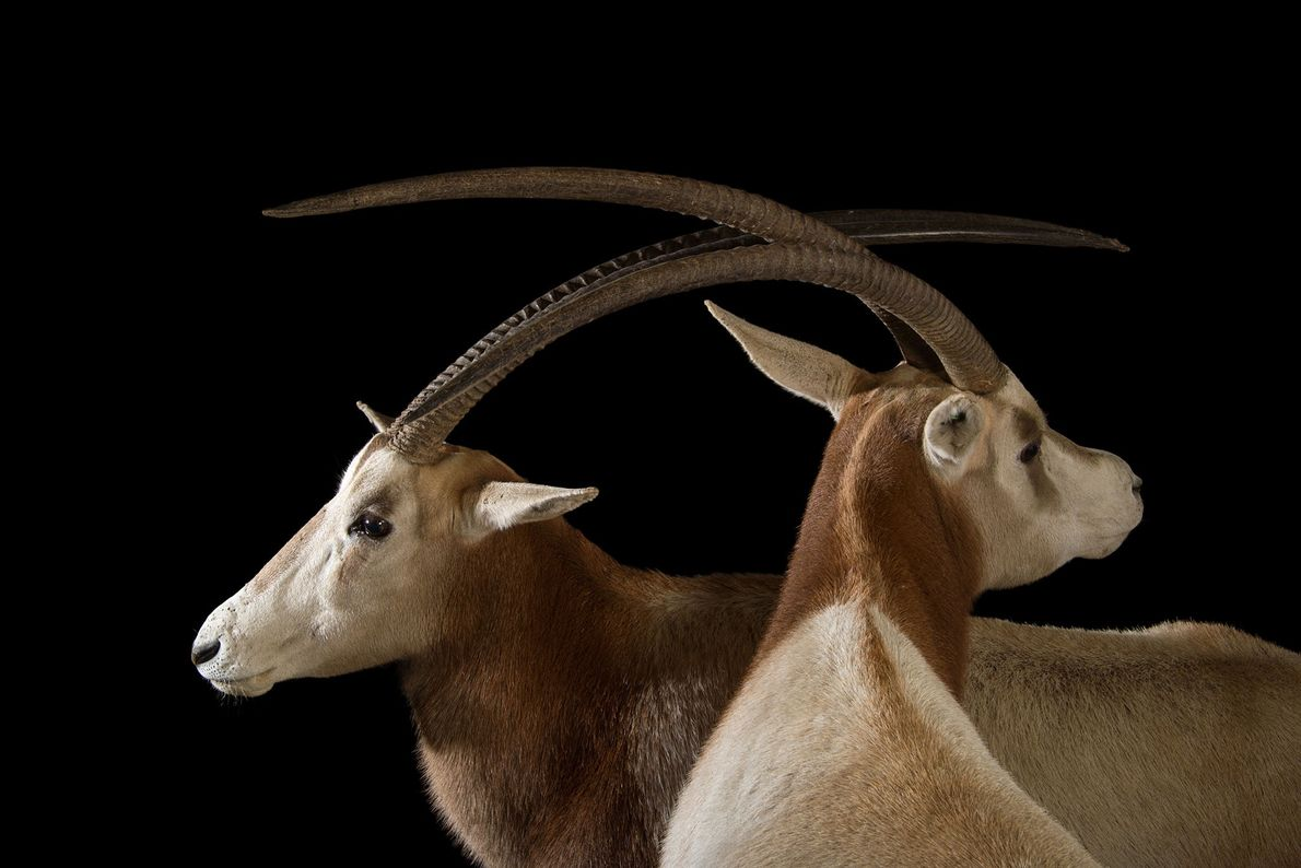 Two scimitar-horned oryxes showing off their long, sharp-tipped horns. All scimitar-horned oryx have a set of ...