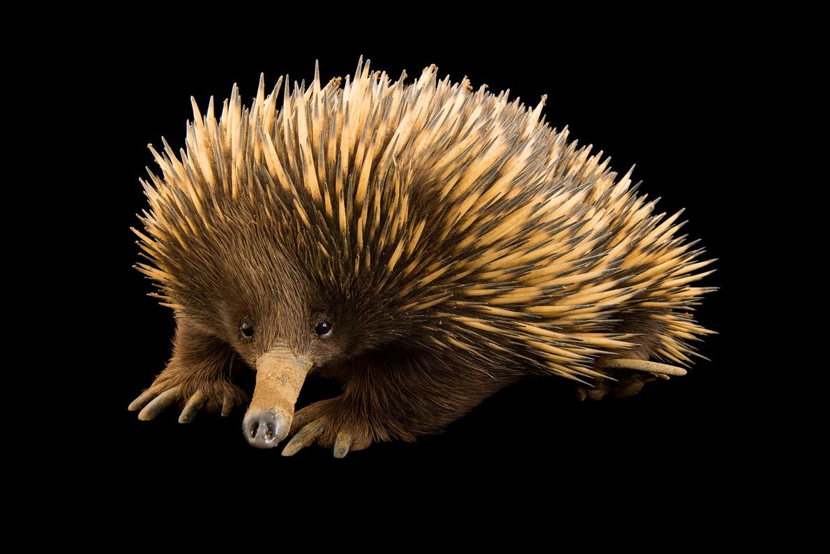 When echidnas feel threatened, they burrow themselves into the ground by digging their feet deep in ...