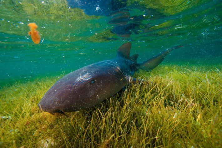 A nurse shark explores a sea grass bed off Half Moon Cay.