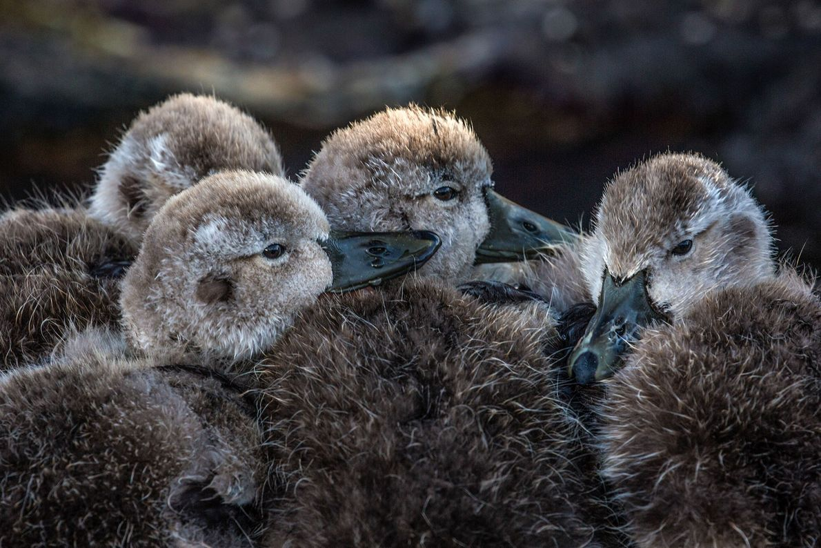 Four ducklings huddle together, Falkland Islands.