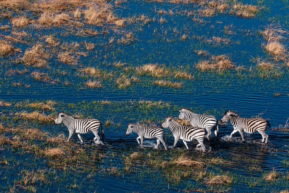 An aerial view of plains zebras (Equus quagga) walking in a flood plain in Okavango Delta, ...