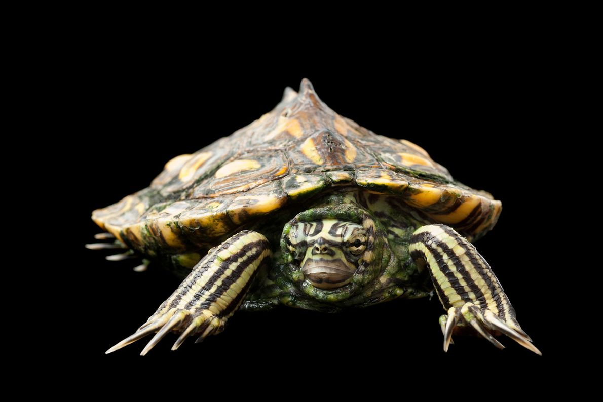 A Yellow-blotched map turtle, Graptemys flavimaculata. This species is listed as vulnerable.