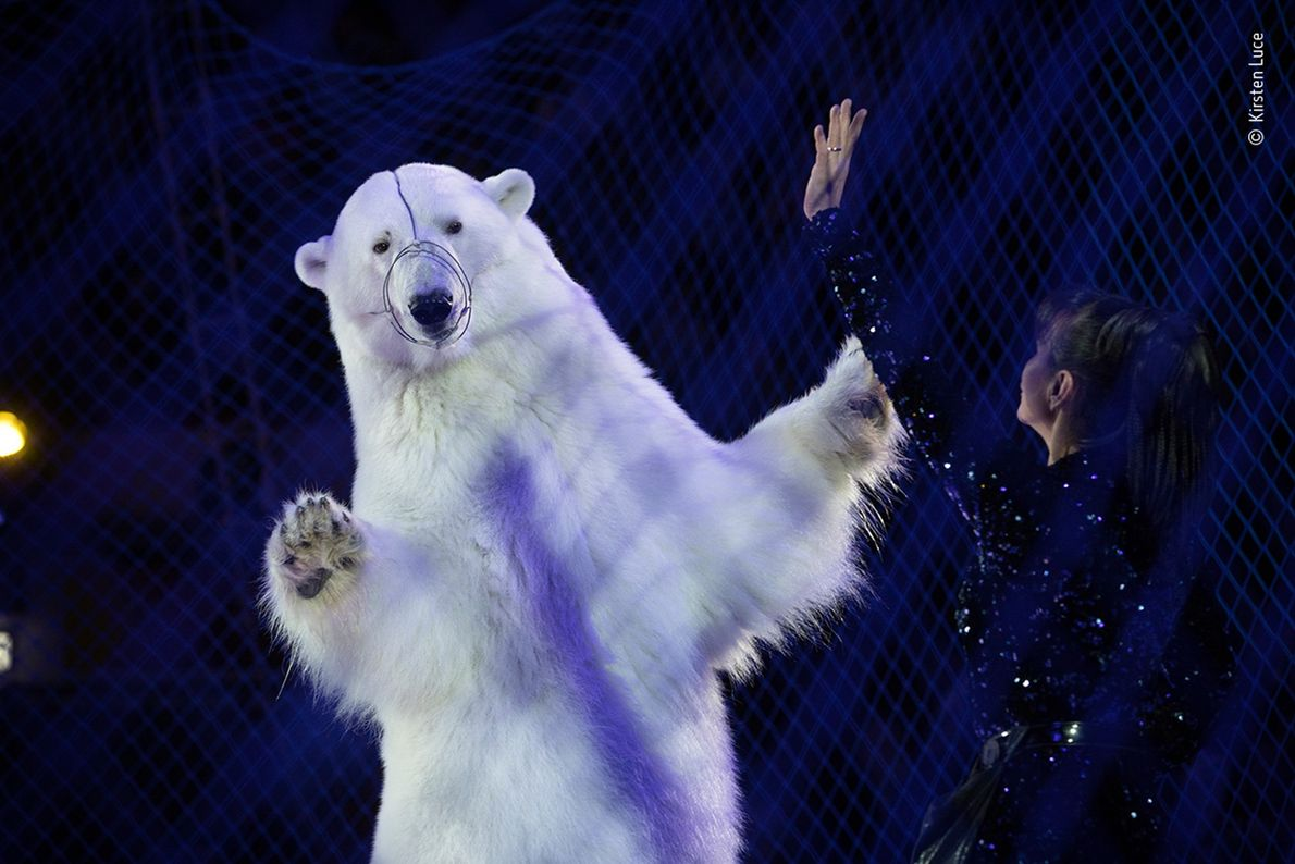 For her photo of a performing polar bear in a traveling Russian circus on ice, Kirsten ...