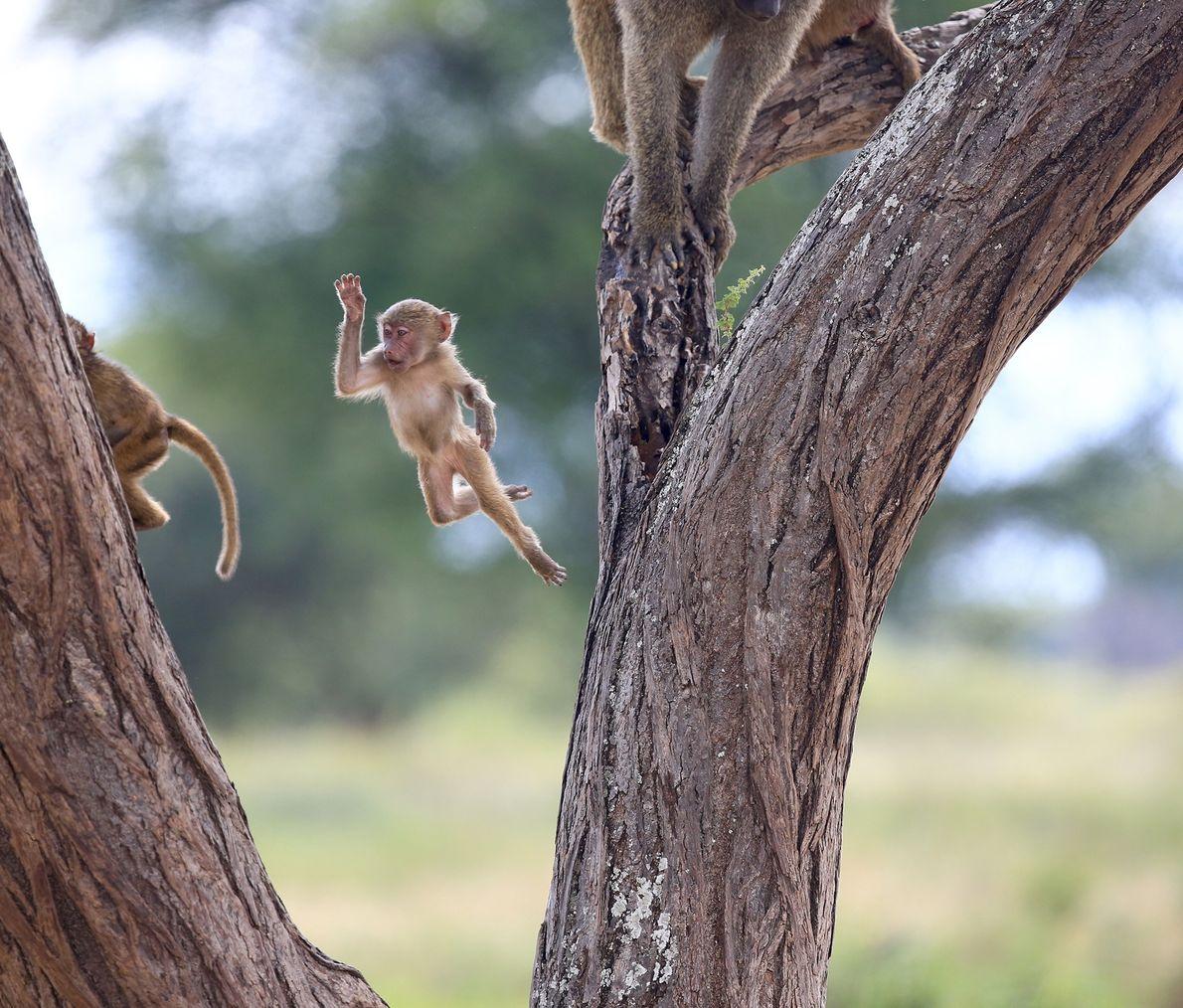 A leaping baby baboon in Lake Manyara National Park, Tanzania.
