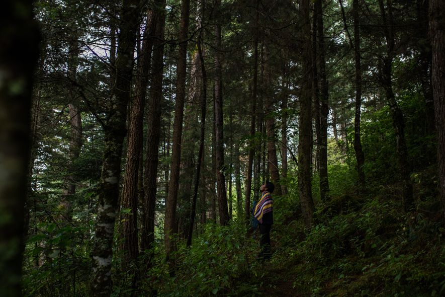 Miguel Ajtzalam stands among one of the last remaining natural stands of pinabetes outside the K'iche ...
