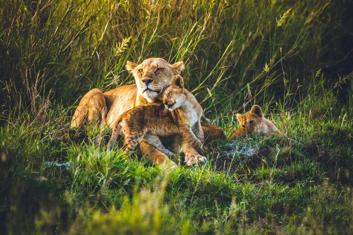 """""""Being a big cat girl, this was the highlight of my trip to Central Serengeti,"""" writes ..."""