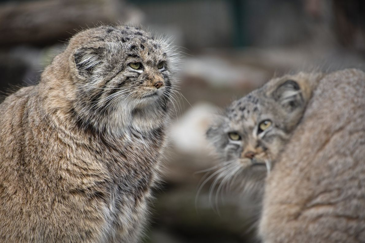 Your Shot photographer Gabi Potocka captured this expressive moment between two pallas cats in the Wrocław ...