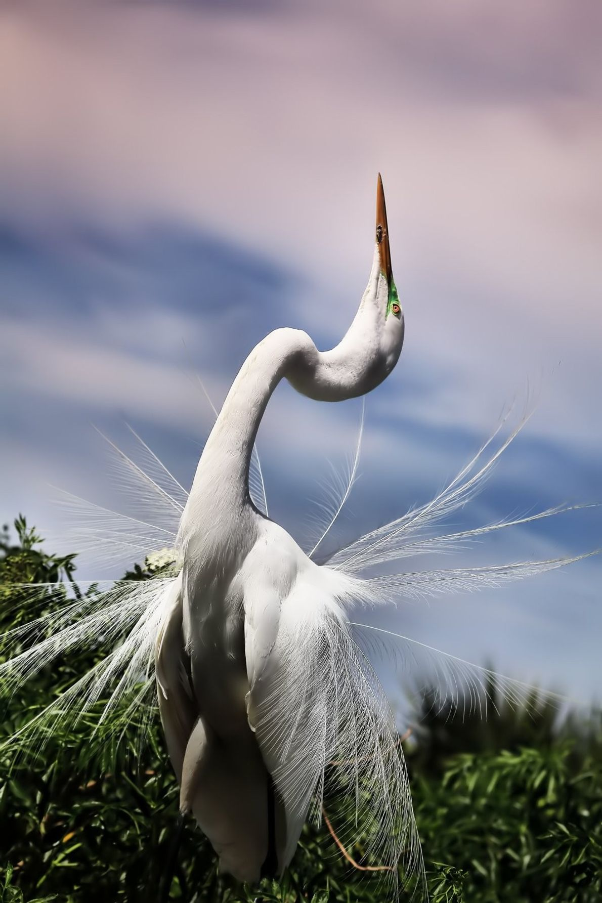 """""""The courting ritual of a Great Egret involves flexing its neck back with its gorgeous nuptial ..."""