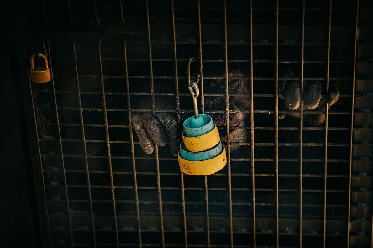 A retired lab chimp reaches for treats in stacked cups attached to the outside of an ...