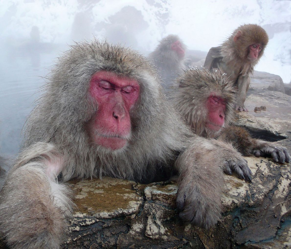 Japanese macaques take a rest in thermal hot springs in Nagano, Japan.