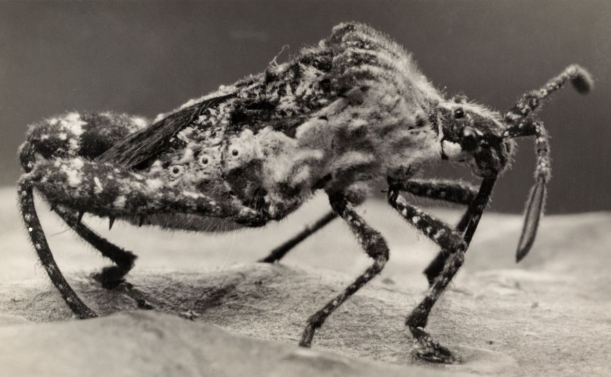 Leaf-footed bugs, named after the leaf-like protrusions on their back legs, are often garden pests in ...