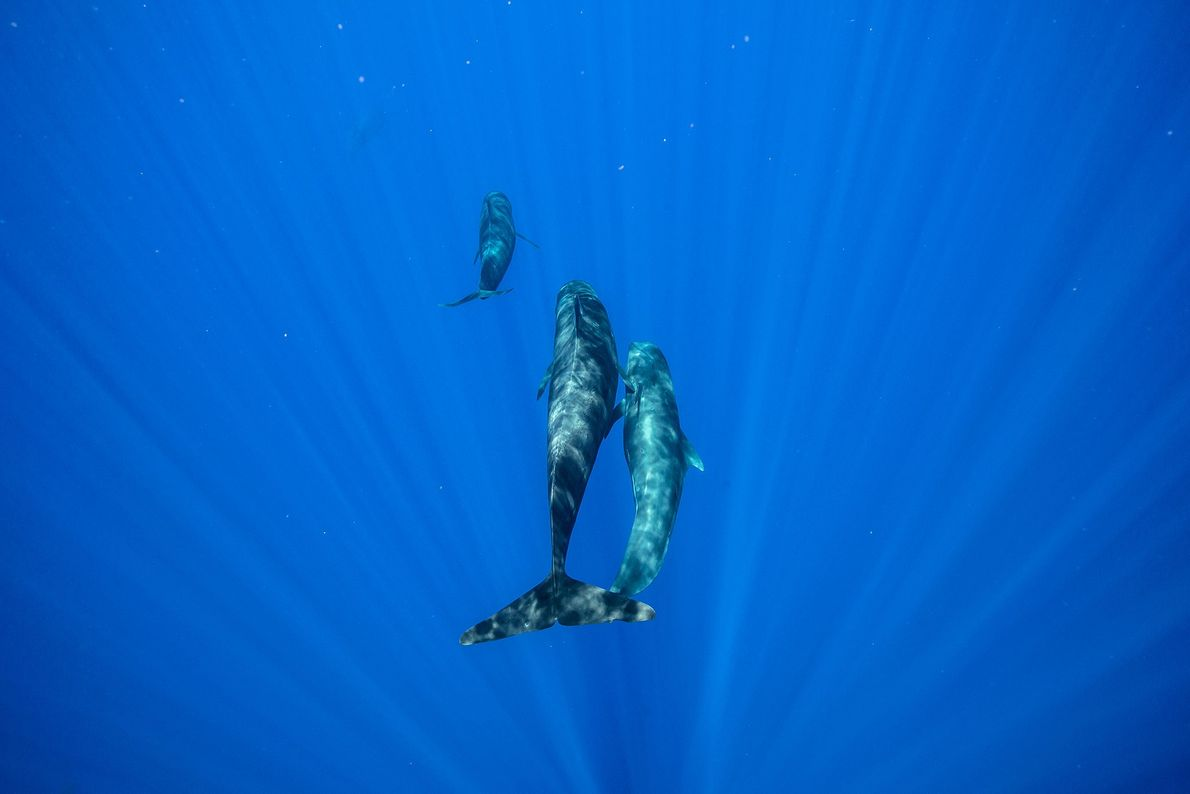 Like the orca, the long-finned pilot whale is a large dolphin that forms family pods. The ...
