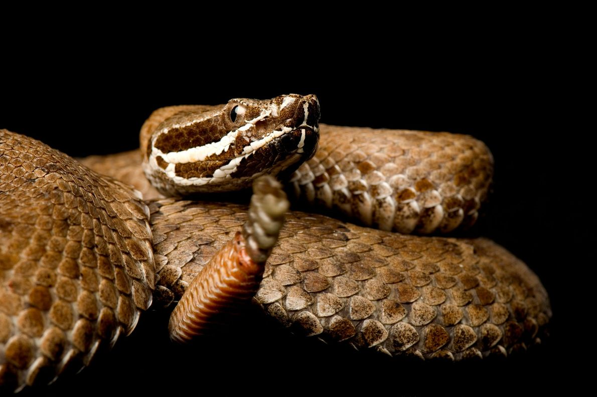 An Arizona ridge-nosed rattlesnake, 'Crotalus willardi willardi', at the St. Louis Zoo.