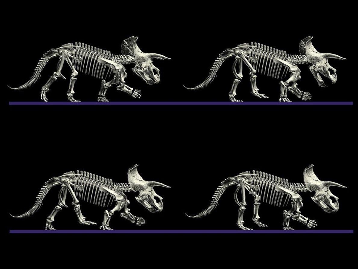 'Computer models show how a massive Triceratops likely walked. The sequence, which used digital scans of ...