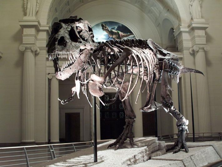 Tyrannosaurus rex arose during the Cretaceous period about 85 million years ago, and thrived as a ...