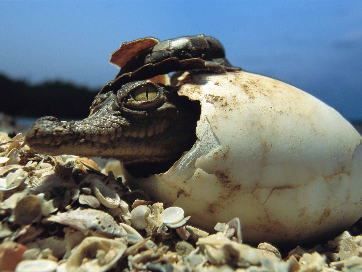 Female crocs lay their eggs in clutches of 20 to 60. After the eggs have incubated ...