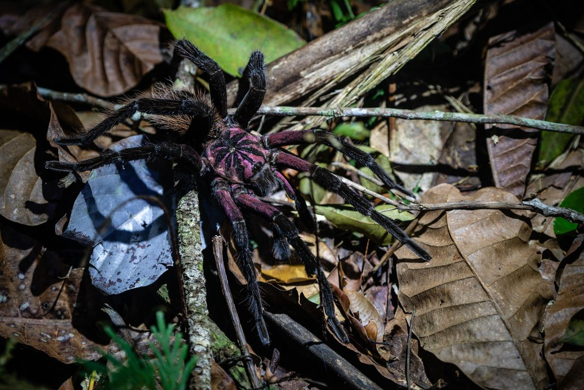 The Colombian lesserblack is a large bird spider with a population that is poorly known.
