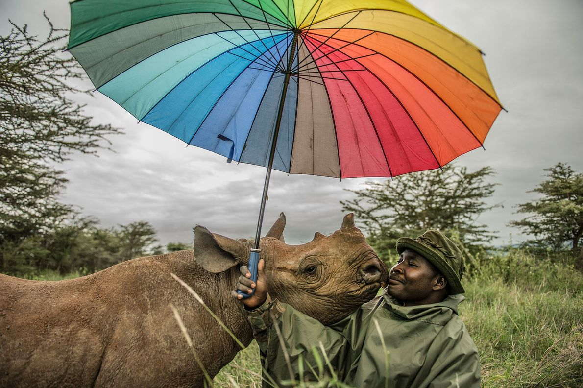 A park ranger at Lewa Wildlife Conservancy in Kenya is nuzzled by an 18-month-old black rhino ...