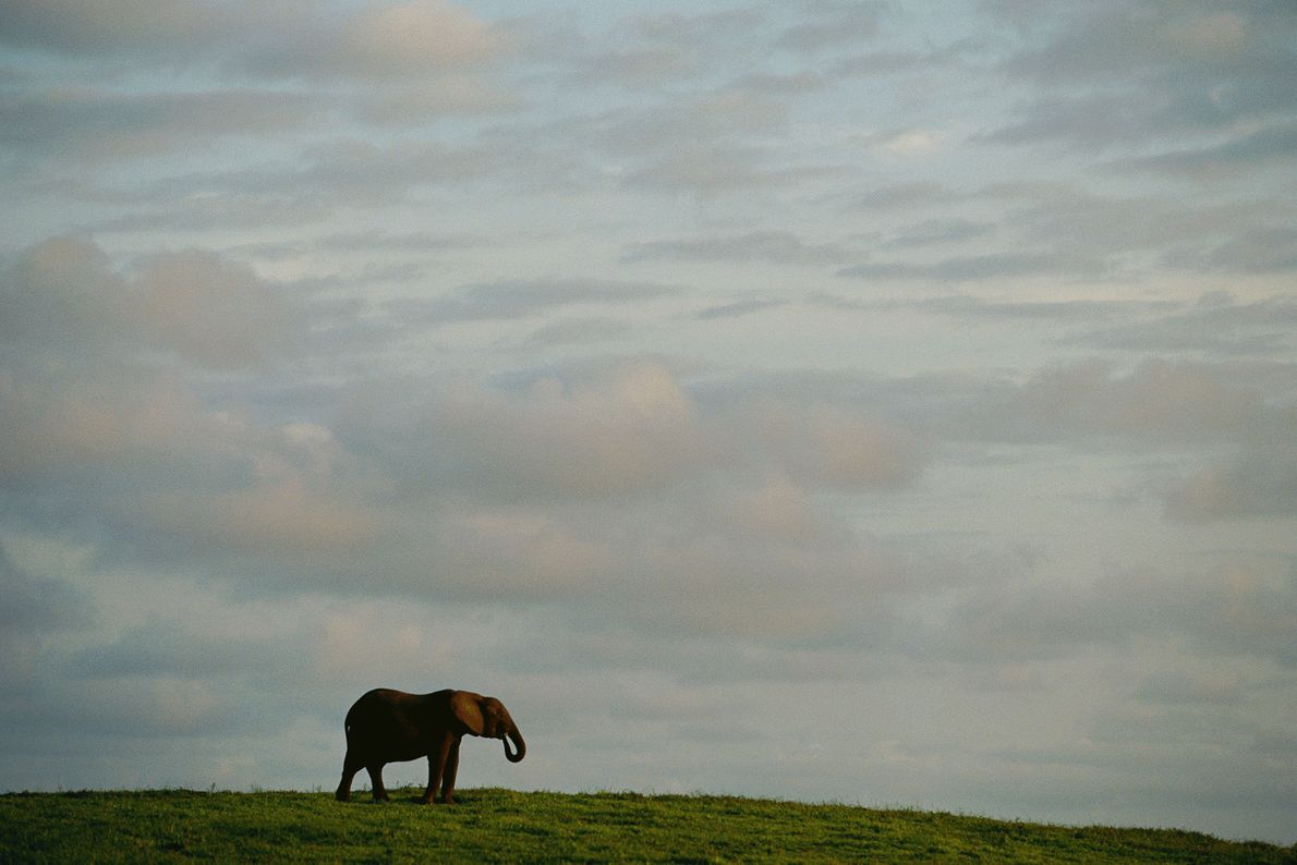A lone elephant stands out against the sky in Gabon.