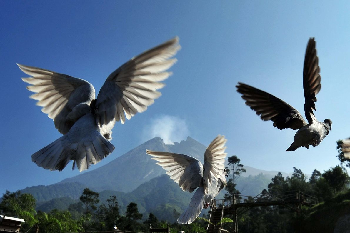 Pigeons take flight as Indonesia's Merapi volcano simmers on June 4, 2018. The volcano is known ...