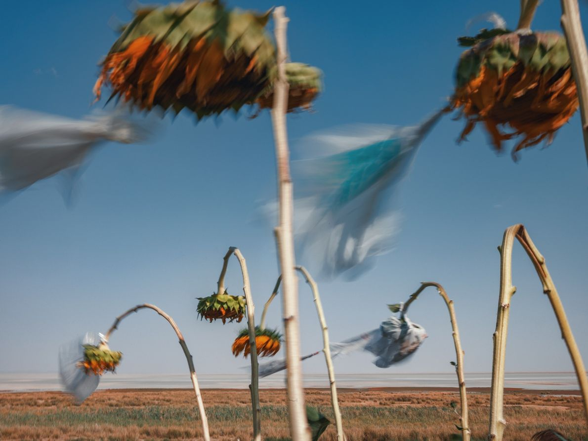 A field of sunflowers, some covered with plastic bags protecting them from the salt and dust ...