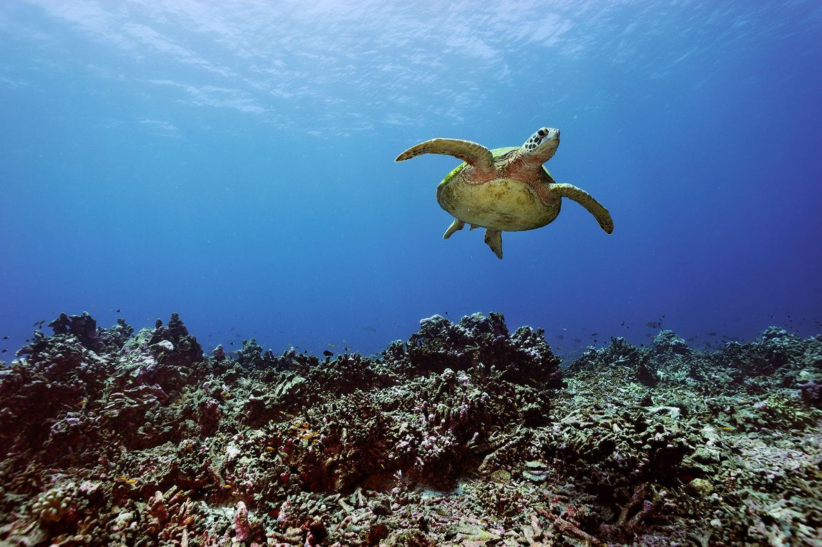 A green sea turtle swims over coral near the Phoenix Islands.