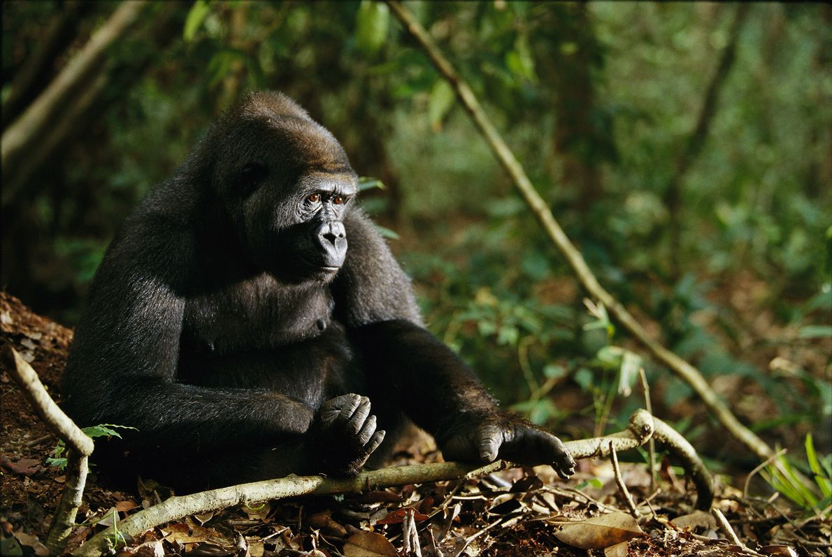 Western Lowland Gorilla - A western lowland gorillas sits in Tchimpounga Reserve in the Republic of the Congo. The species has declined by 60 percent in the last 20-25 years, mainly due to commercial hunting and the Ebola virus - Photograph by Michael Nichols, National Geographic Creative