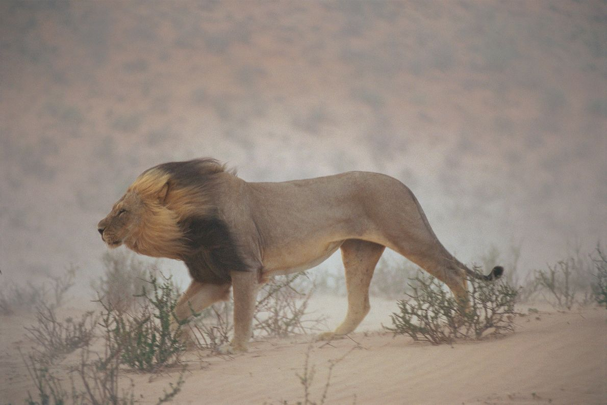 A lion wanders the dry Nossob riverbed in the Kgalagadi Transfrontier Park, near the border of ...