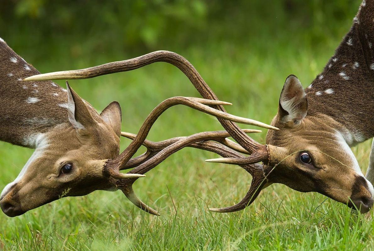 Spotted deer lock antlers in Karnataka, India.