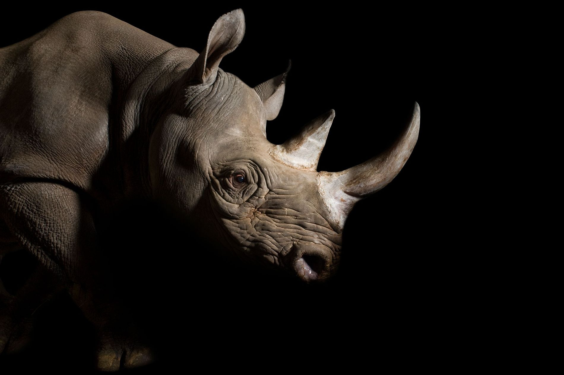 The eastern black rhino is adorned with an elegant set of hefty horns. Poachers will risk ...