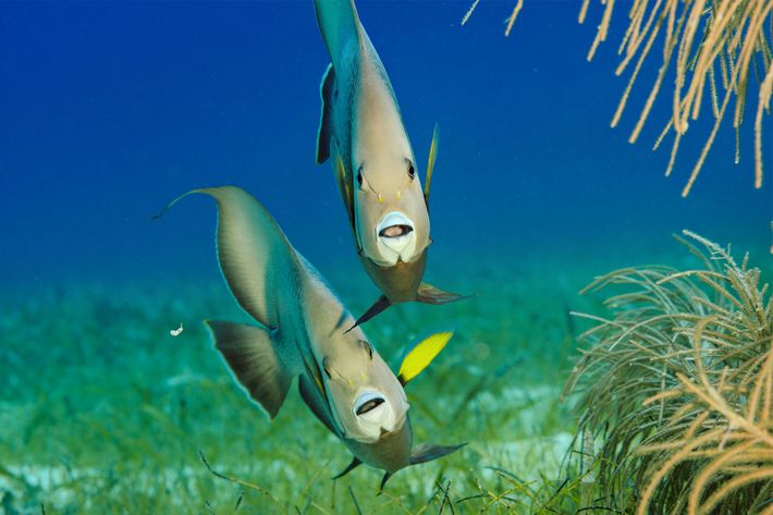 Gray angelfish forage along Lighthouse Reef.
