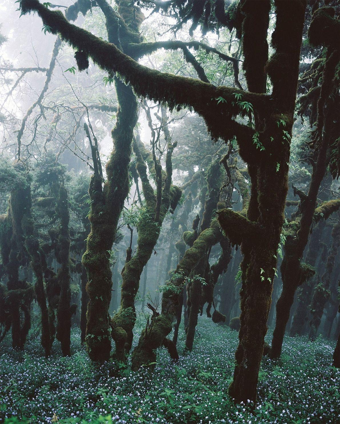 Fir trees create a dense cover in this Bhutan forest. Bhutan's constitution guarantees that 60 percent ...