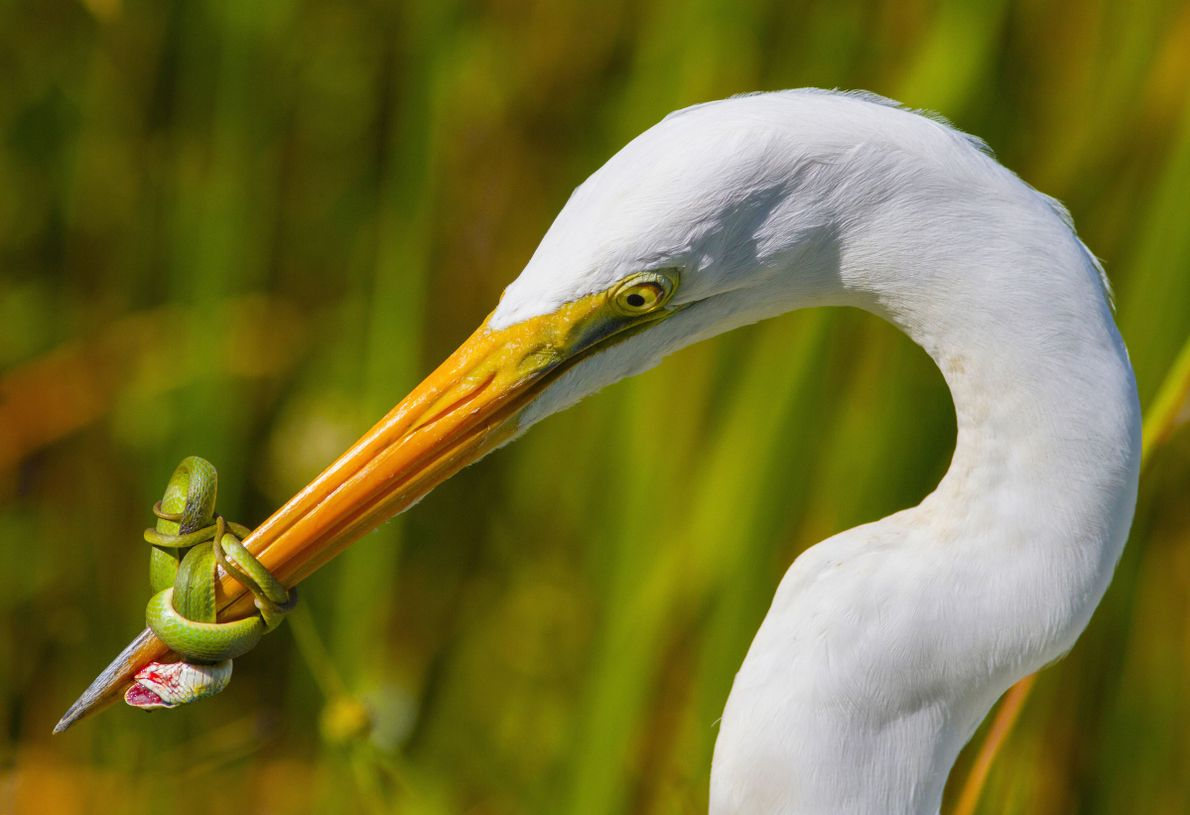 A great white heron wrestles with a green snake in the Florida Everglades in this shot ...