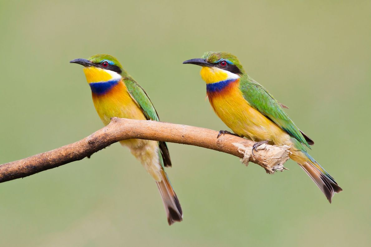 Blue-breasted bee-eaters, Uganda.