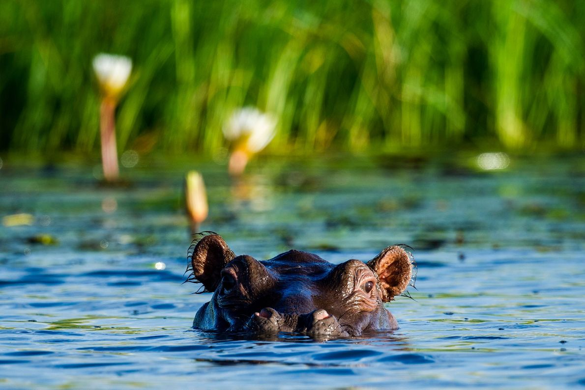 A Nile Hippopotamus surfaces at the edge of a reed bed, in Chobe National Park, Botswana.